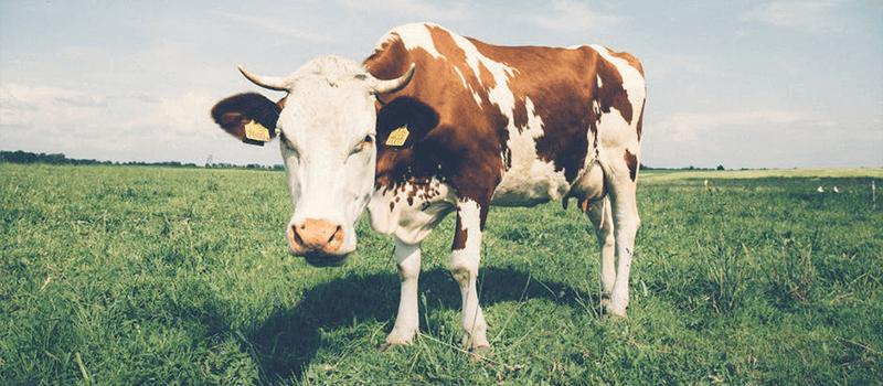 nomilk1 - Por que vegetarianos e veganos não consomem leite e ovos? Veja a crueldade por trás